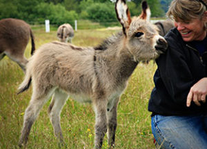 Miniature-Donkeys-For-Sale-Markee2