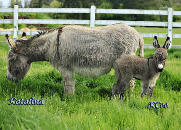Jennet Donkey Images And More From Crown Meadow In Scio