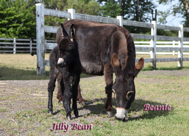 Miniature Donkeys And More Available At Crown Meadow In