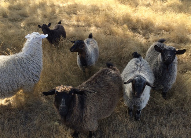 Pygora Goat Images And More At Crown Meadow In Scio Oregon